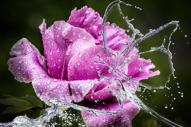Hydrolát neboli květová voda